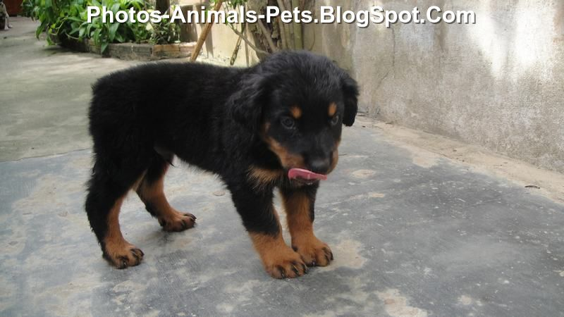 rottweiler puppies - rottweiler - Photo rottweiler puppies