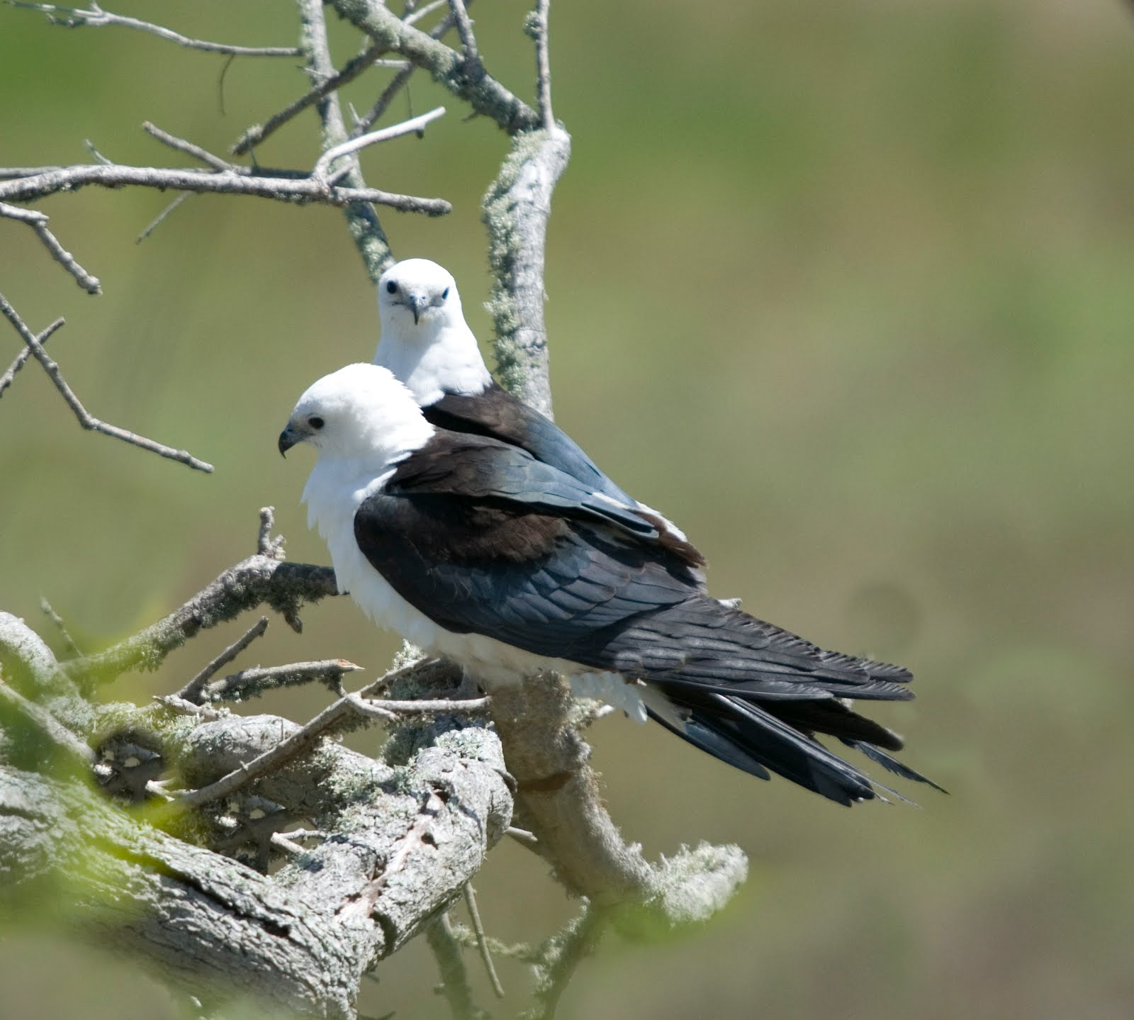 Swallow-tailed Kites from Stevenson Yard, Texas