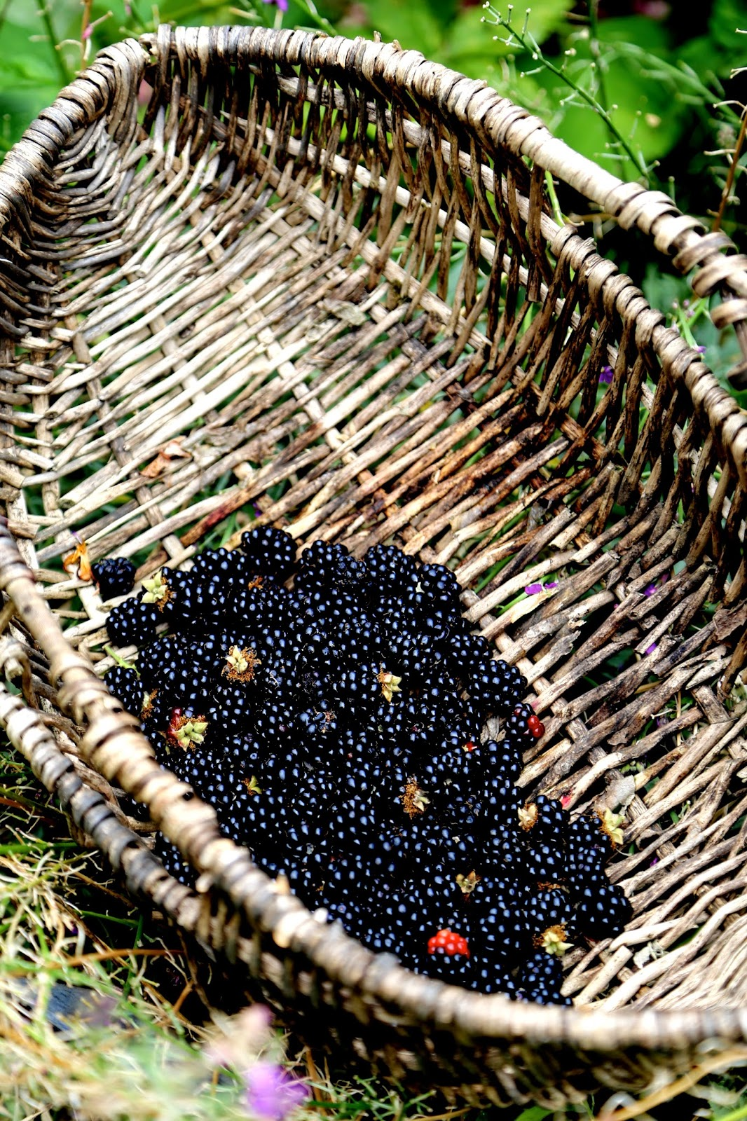blackberries just picked in a basket