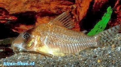 Corydoras Approuaguensis – Zırhlı Kedi Balığı Resimleri