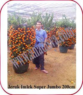 pohon jeruk imlek