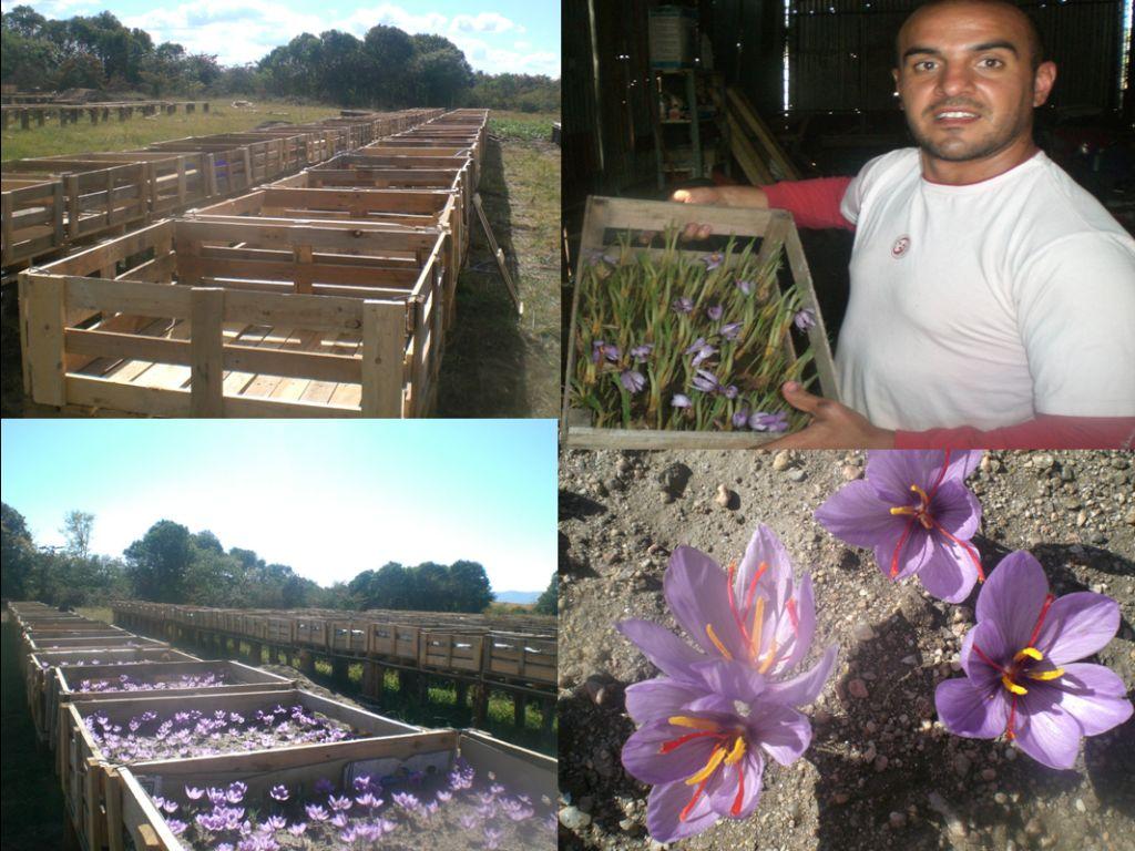 Azafr n en c rdoba nuestro azafranal - Como cultivar azafran ...