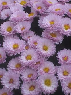roze asters, zo mijn kleur...