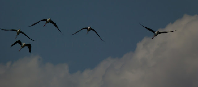 cigüeñuelas en vuelo