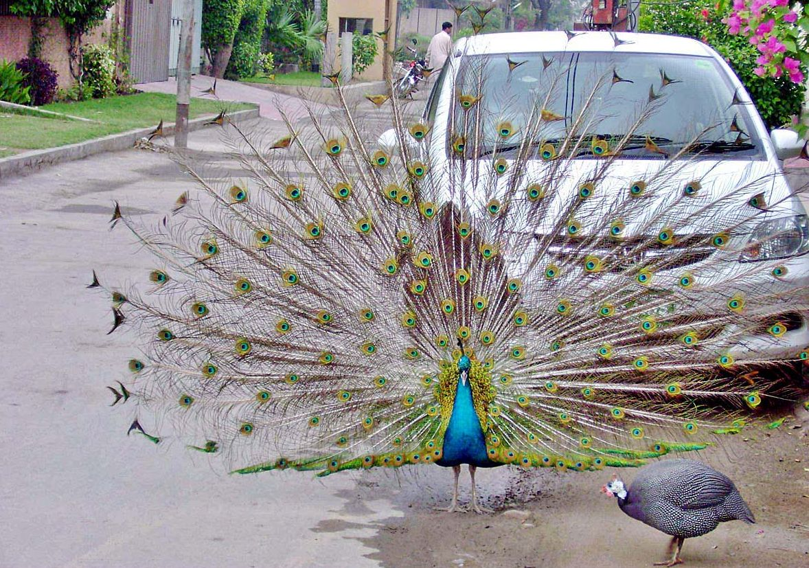 bird peacock information The peacock is a very beautiful bird it is found in most parts of india peacock is our national bird peacocks are of bright greenish-blue colour.