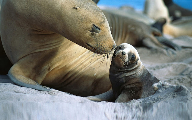 Wallpaper with father or mother seal and his young