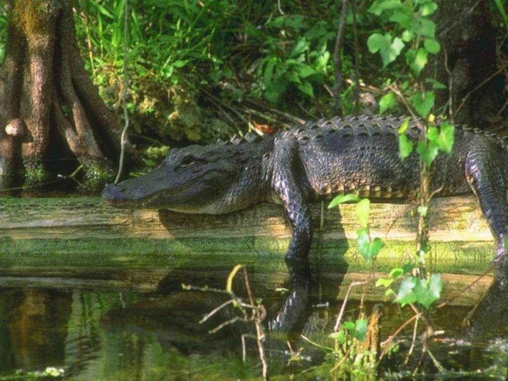 Crocodile Wallpapers hd | Neptunes Dreams
