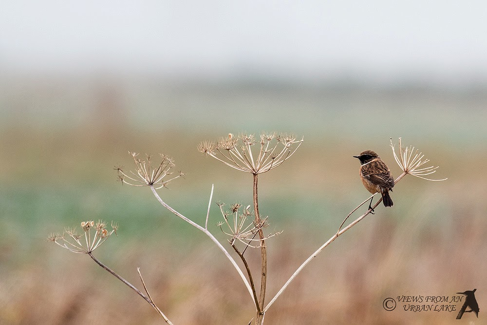 Stonechat (Male) - North Kent