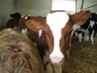 red and white calf