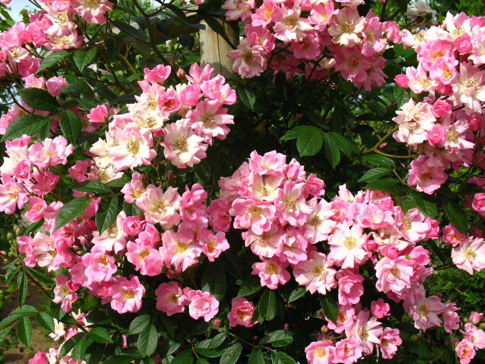 Roses du jardin ch neland rosier marietta silva tarouca - Quand couper les rosiers ...