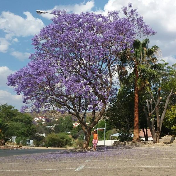 Jacaranda tree outside our building in Spring