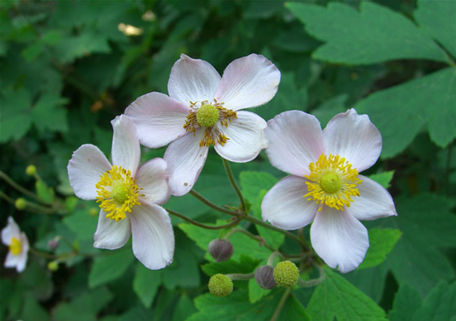 Anemone Flowers Pictures
