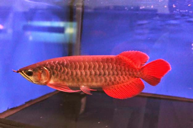 Ikan Arwana Red
