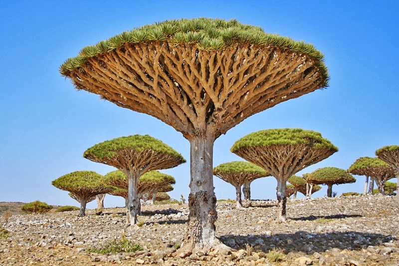 Dragon's blood trees, Socotra, Yemen - Too Beautiful To Be Real? 16 Surreal Landscapes Found On Earth