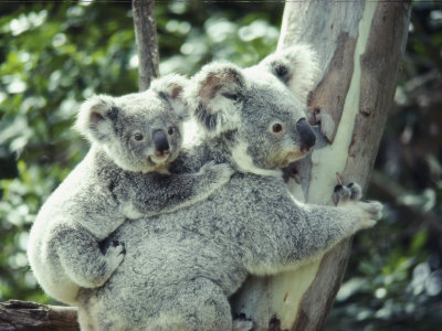 koala%2526baby.jpg