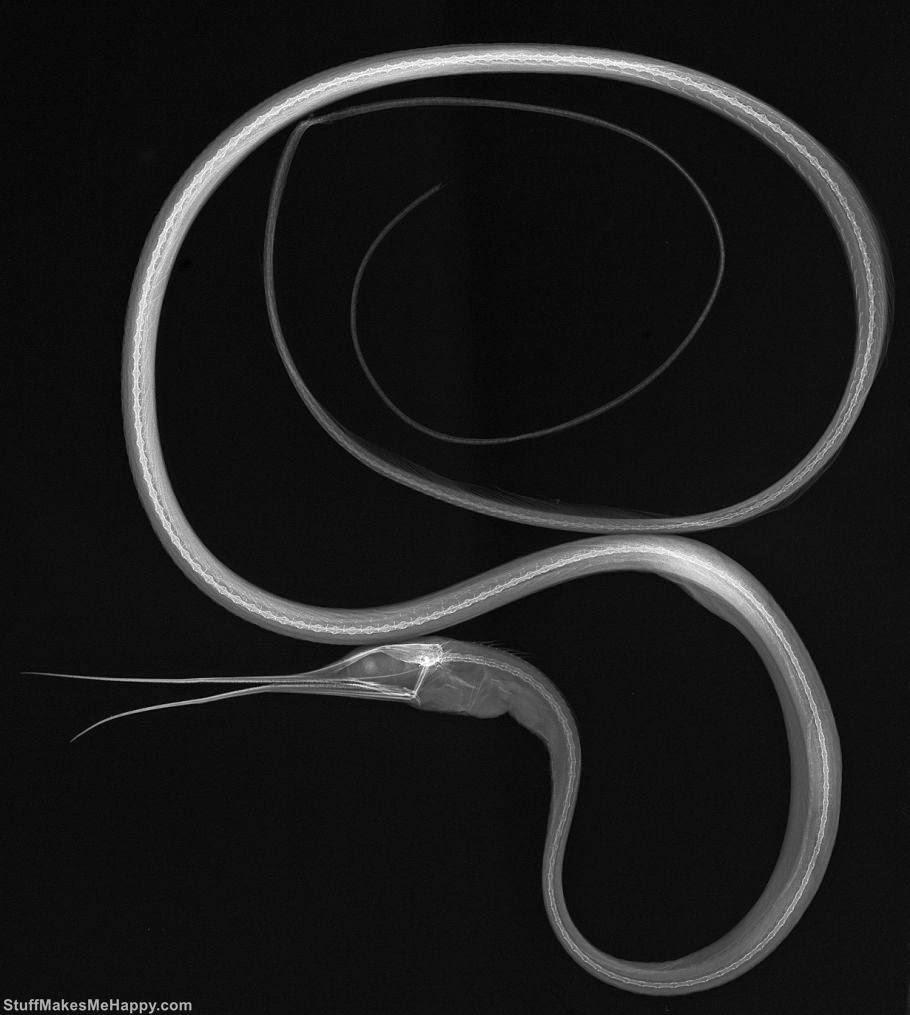 Slender snipe eel Fish