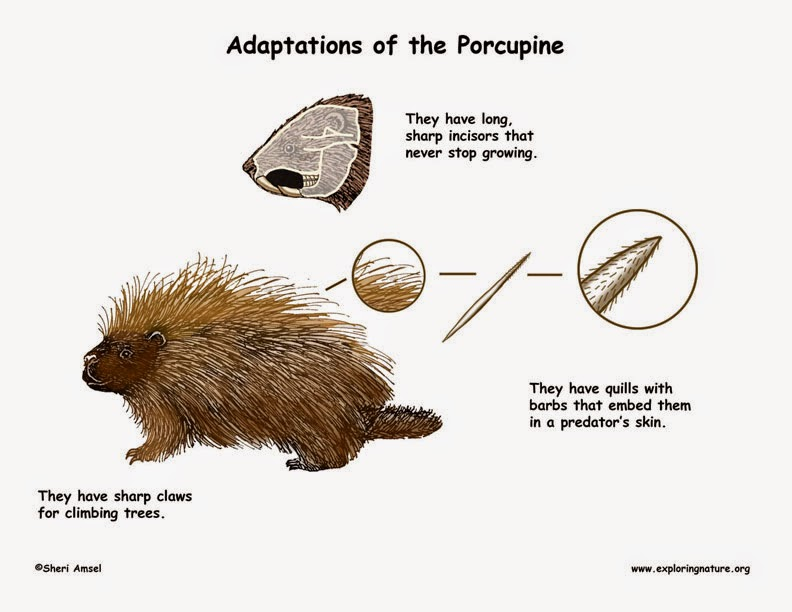 Markulintags Animal Adaptations