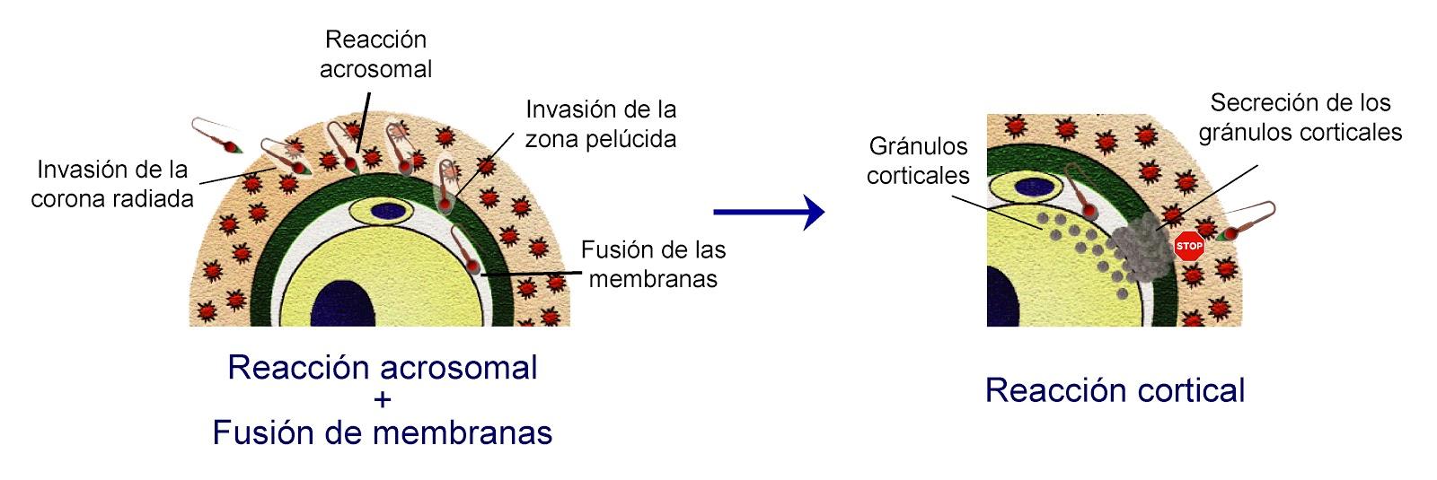 Mecanismo de la fecundación tras la reacción acrosomal y la cortical
