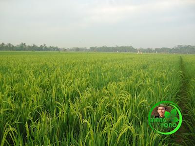 Hamparan tanaman padi yang menghijau