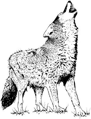 coyote, canis latrans, hurlement, hululement, hurler à la lune