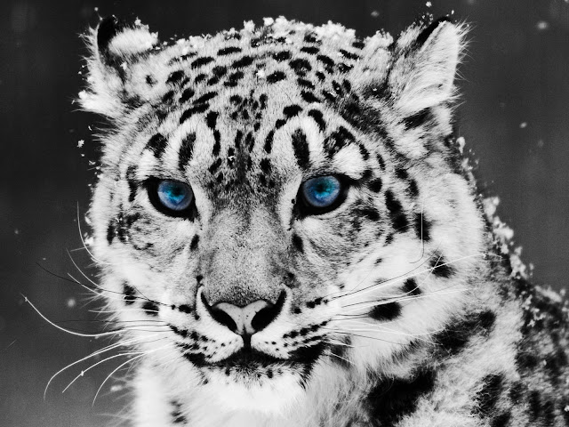 Blue Eyed Snow Leopart Face Greyscale Photo HD Wallpaper