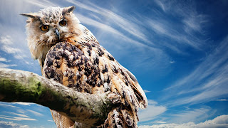 Owl desktop background free download