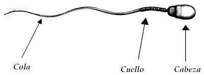 Dibujo del espermatozoide está dividido en 3 partes: Cabeza, cuerpo y cola