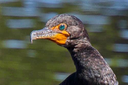 Rick Petersohn's Cormorant
