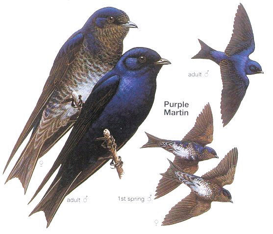 The Meandering Maddoxs Blog Purple Martins