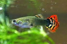 Sala Parto Guppy : Le schede dei pesci: riproduzione consigli su come riprodurre