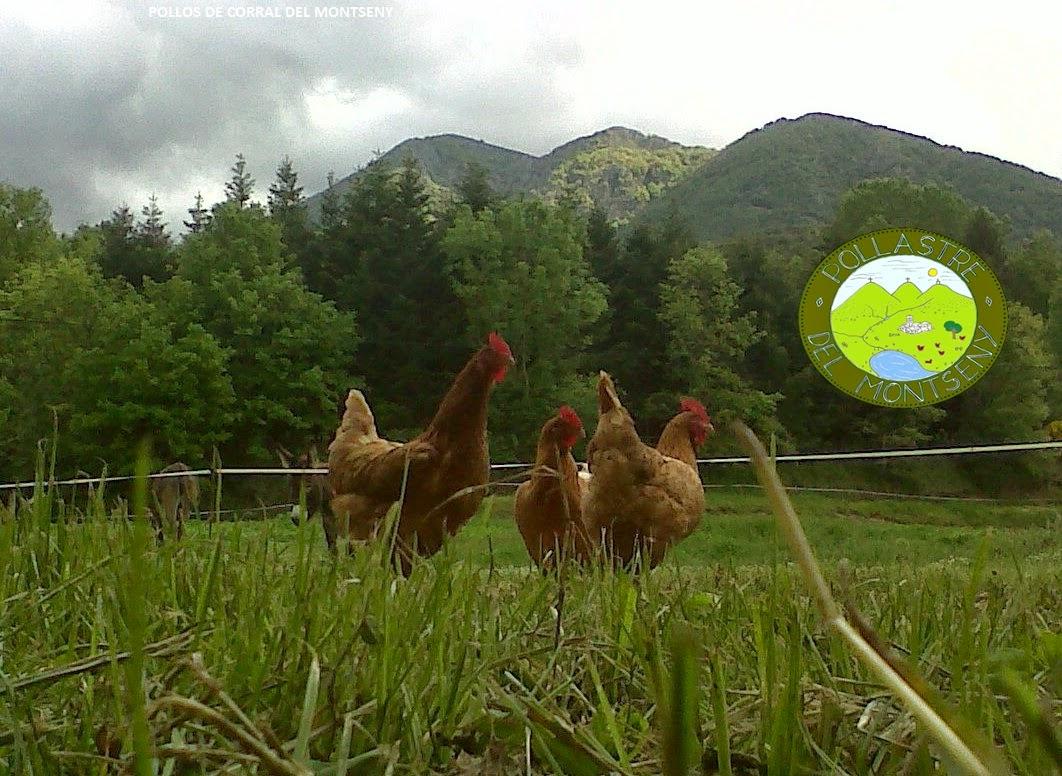 pollos de corral del Motseny