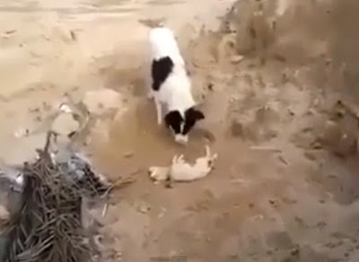 dog-buries-puppy