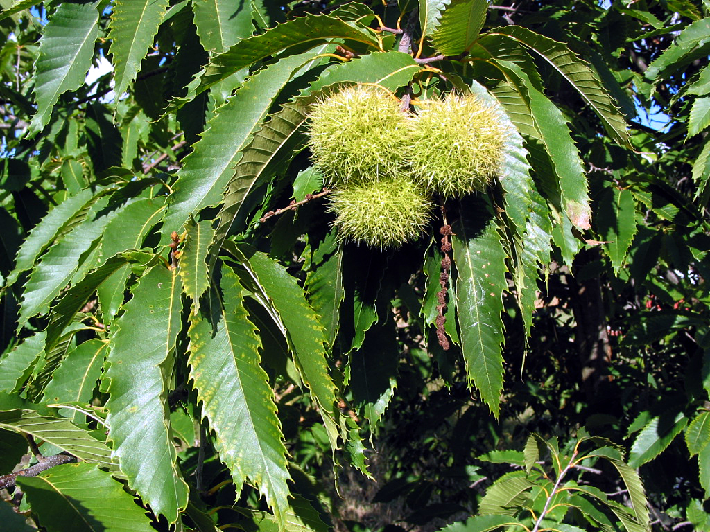 Permaculture Plants: Chestnuts – AgriHunt