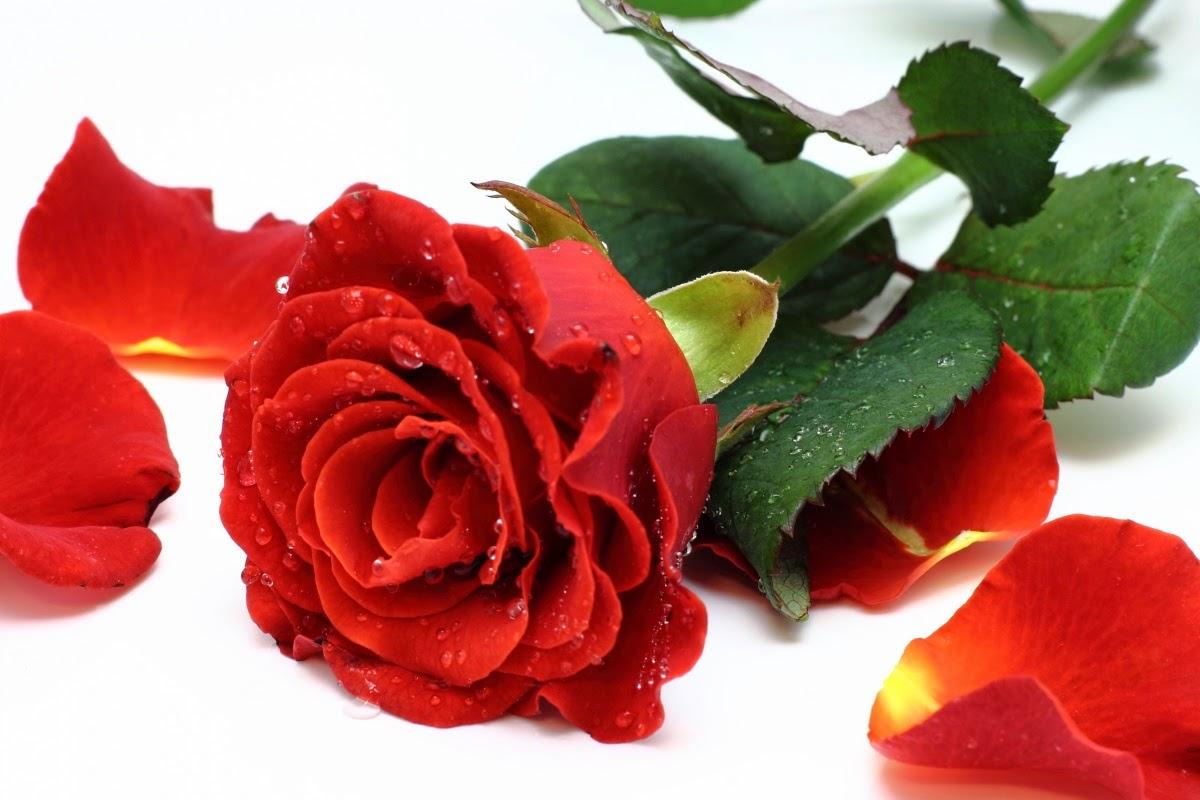 Rituais De Vênus Feitiço Da Rosa Vermelha Para O Amor