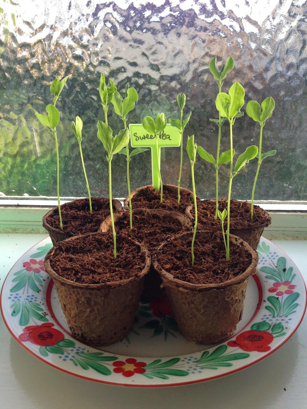 sweet pea seedling