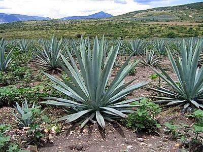 Venta de planta de maguey en Otumba, Mexico.