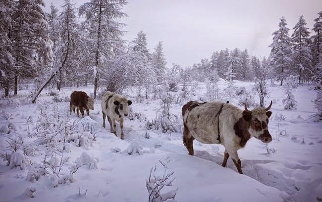 أويمياكون بروسيا -أبرد منطقة في الأرض- desktop-1419271493%2