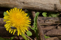 Dandelion with house flies