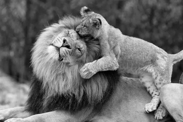 лев и маленький львёнок