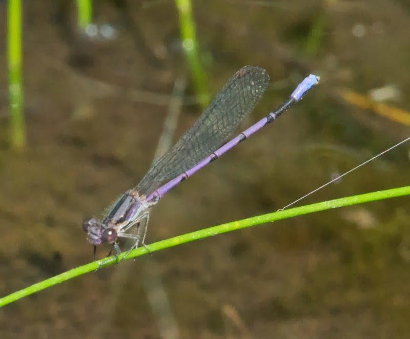 Variable Dancer (Argia fumipennis)