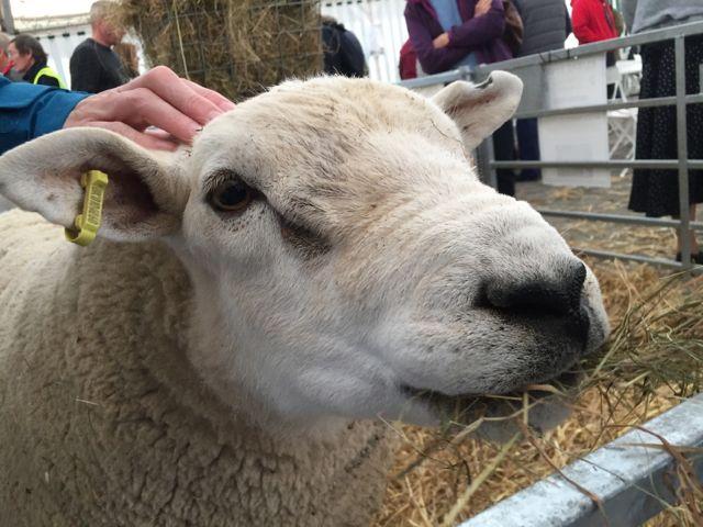 Texel sheep