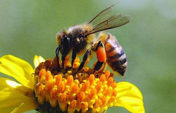 العوامل التى تدفع النحل لجمع حبوب اللقاح