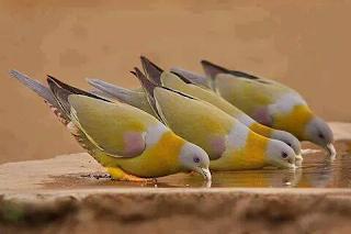 ಹಸಿರು ಪಾರಿವಾಳ ,Green pigeon WITH PHOTO WORDINGS