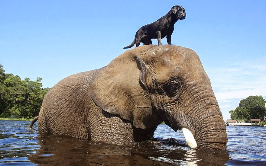 #3 Bubbles The African Elephant And Bella The Black Labrador - Unusual Animal Friendships That Are Absolutely Adorable!