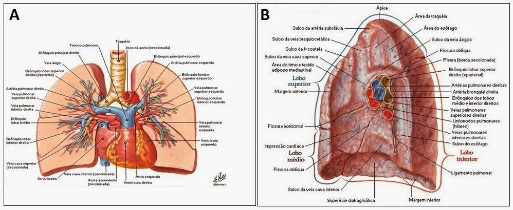 Asombroso Vasos Pulmonares Anatomía Imágenes - Anatomía de Las ...