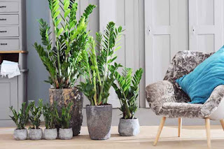 Planta Zamioculcas cuidados