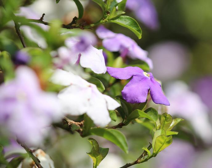 arvore manaca jardim : arvore manaca jardim:Manacá-de-jardim ou manacá-de-cheiro (Brunfelsia uniflora)