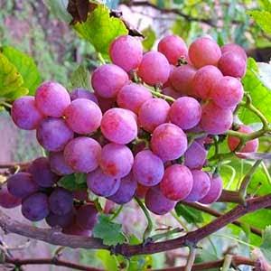 misteri buah surga