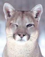 Cougar winking at camera puma mountain lion cute