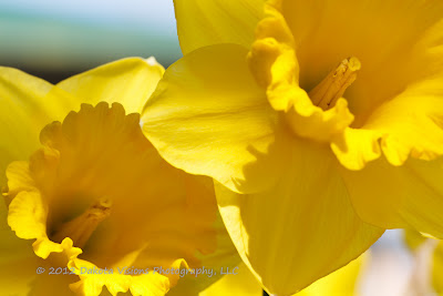 Easter Flowers by Dakota Visions Photography LLC Yellow Daffodils Narcissus